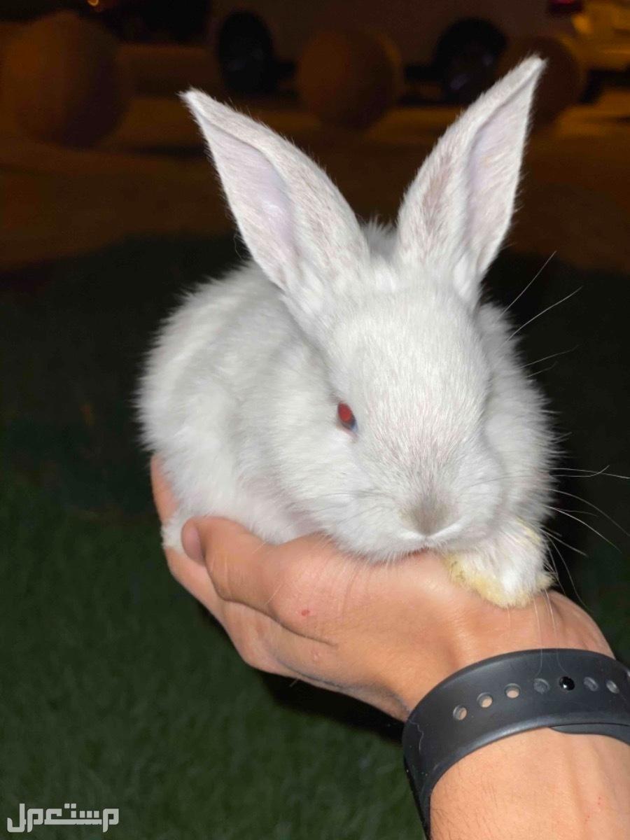 ارانب اليفه صغيره عرض خاص