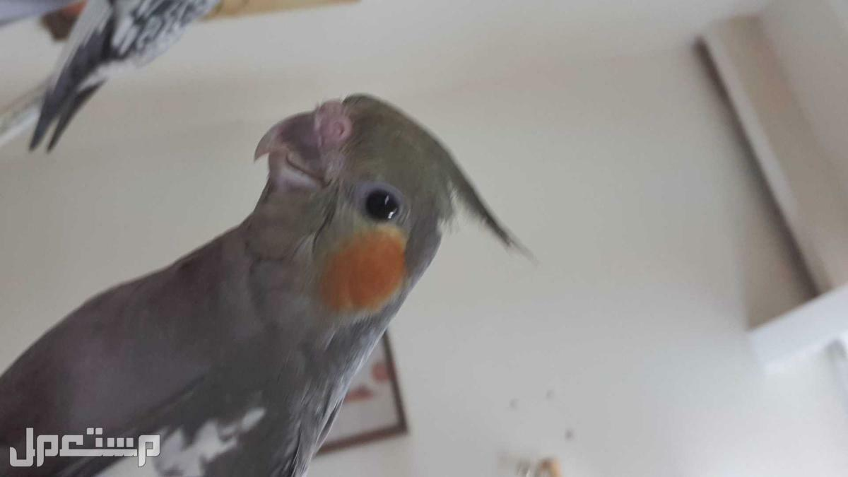 للبيع طيور كروان