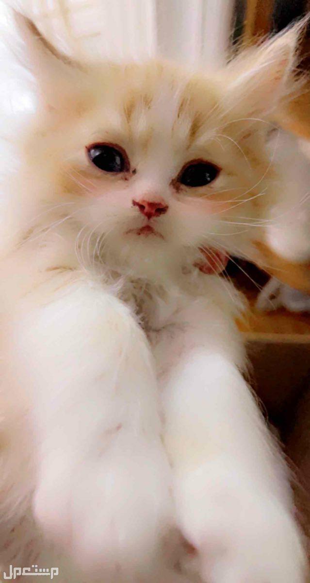 قطط صغار لبيع