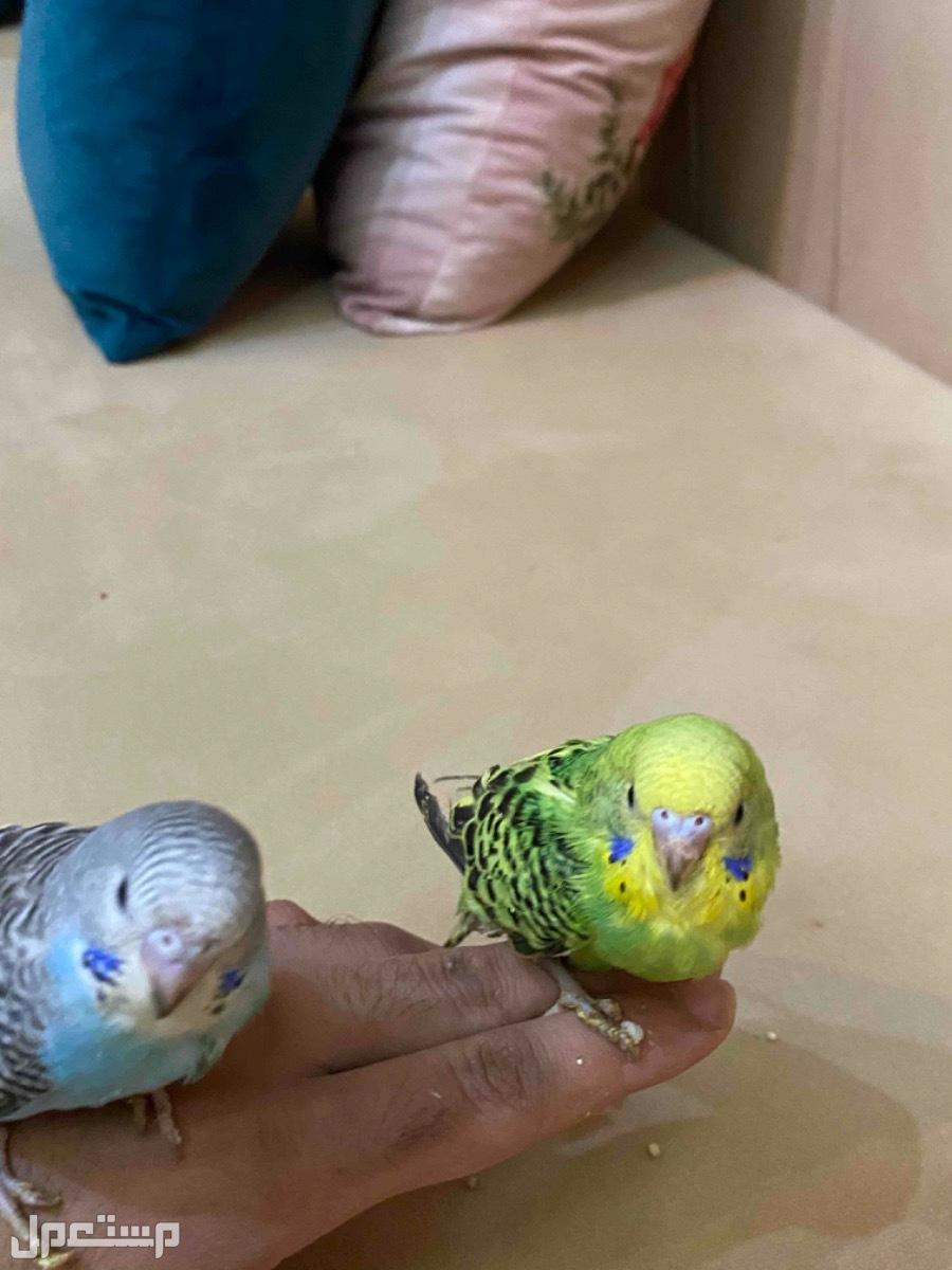 طيور ببغاء بادجي تطلع اليد قابلة للترويض فروخ