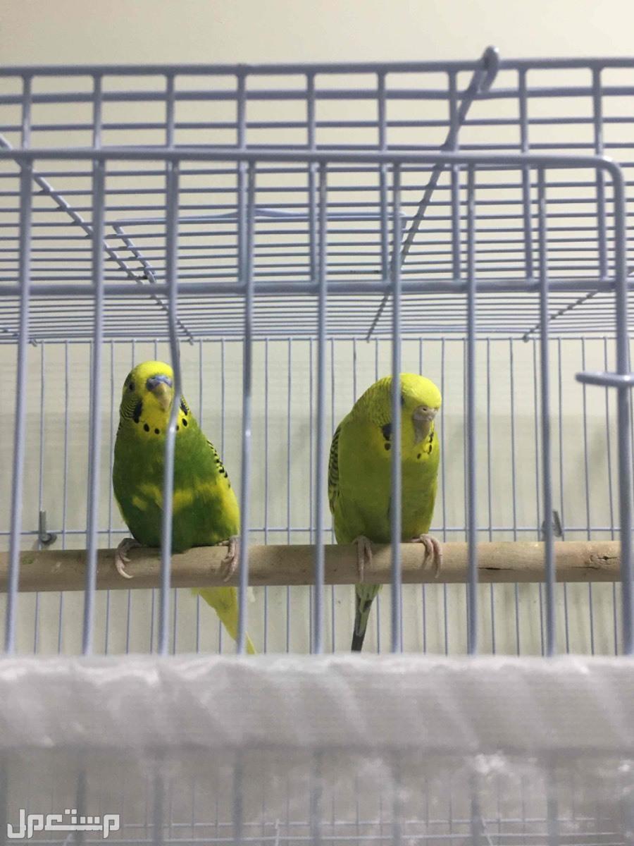 طيور الزينه