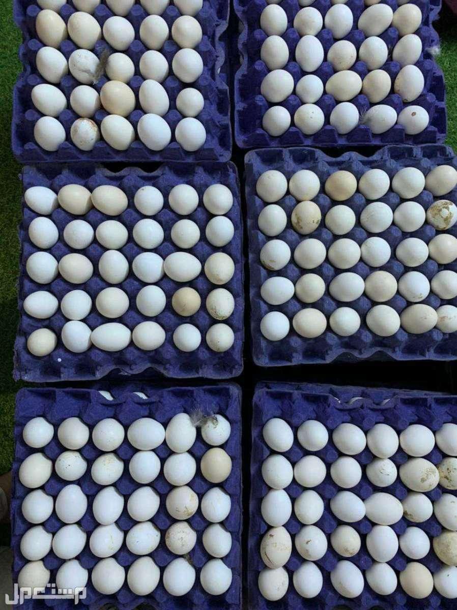 يوجد لدينا بيض بلدي مخصب الانتاج 95% ولله الحمد