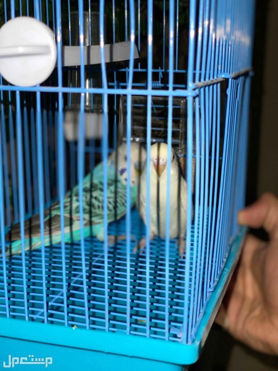 عصافير الحب (البادجي) عرض خااااص