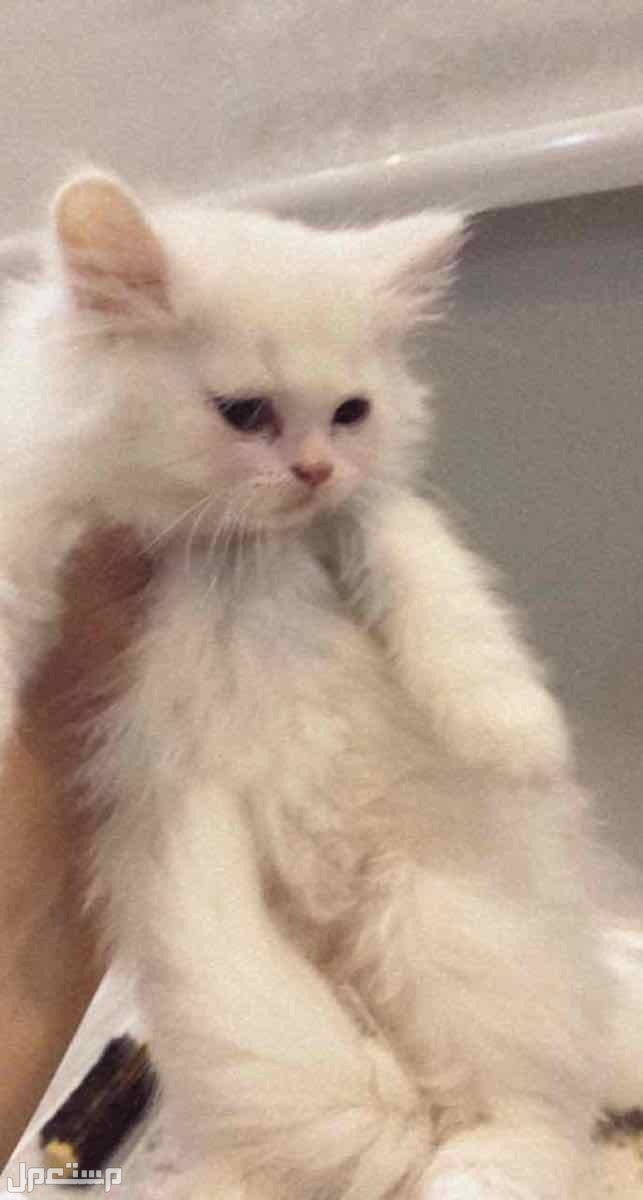 قطه شرازي انثى