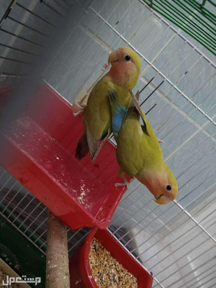 جوز طيور روز جامبو للبيع