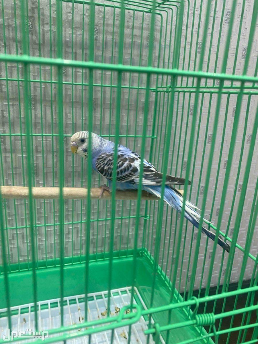 انثي طيور حب