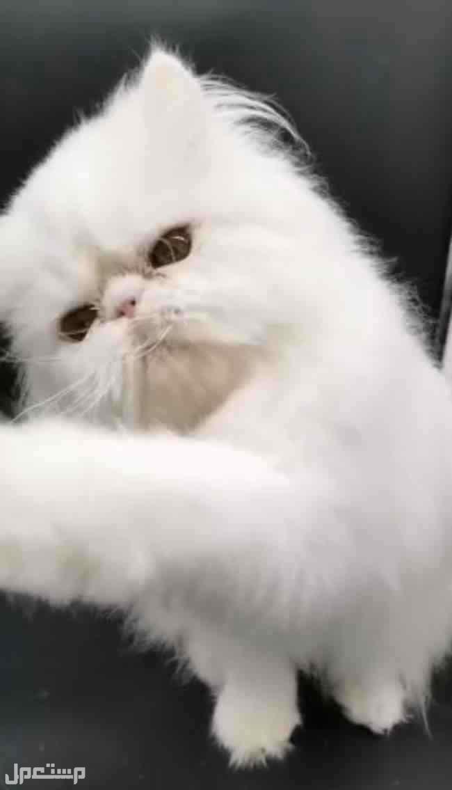 قطط مسجله بمنظمة القطط العالميه cfa