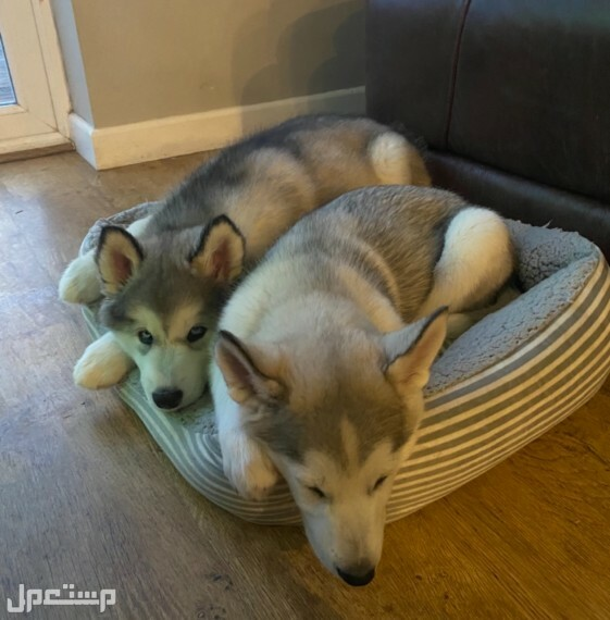 for new home Siberian Husky Puppies
