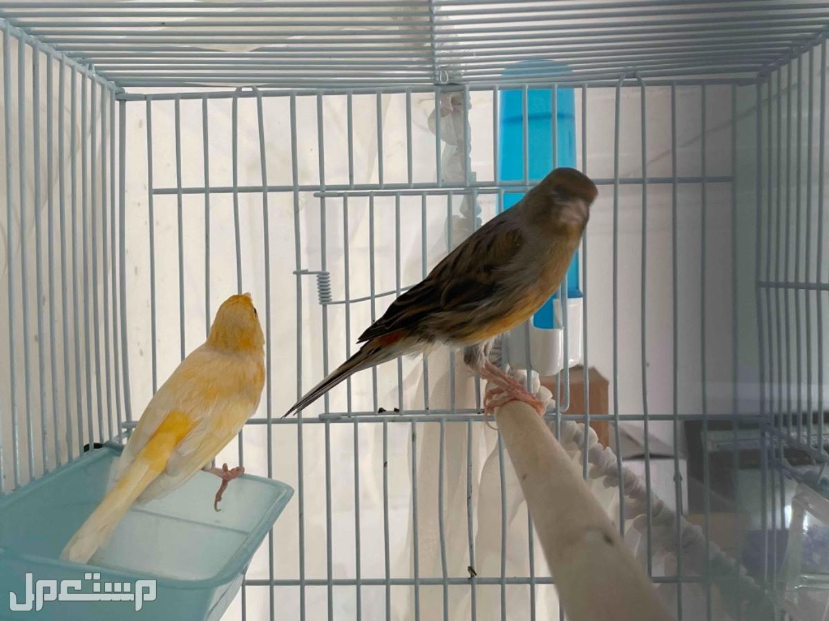 كناري سوري + جلوستر للبيع زوج سوري الذكر نحاسي والانثى صفراء السعر 25 مع القفص