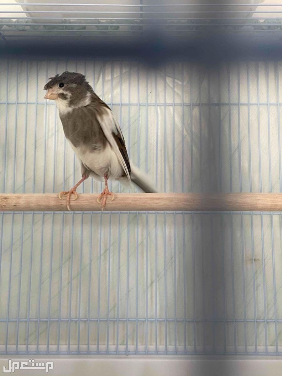 كناري سوري + جلوستر للبيع انثى جلوستر السعر 15 دك مع القفص