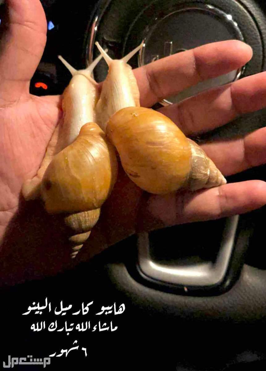 snails الحلزون الافريقي العملاق