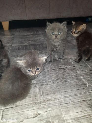 البيع القطط شرازي  عمر شهر