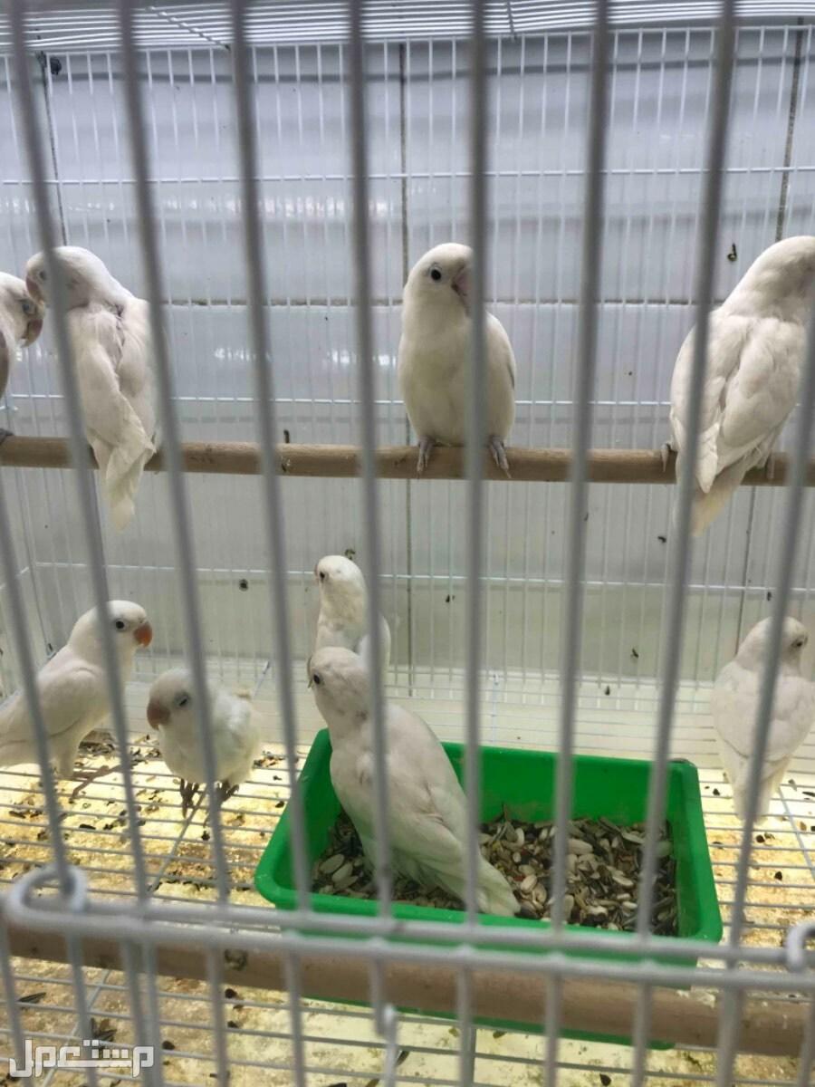 يوجد طيور باسعار ممتازة