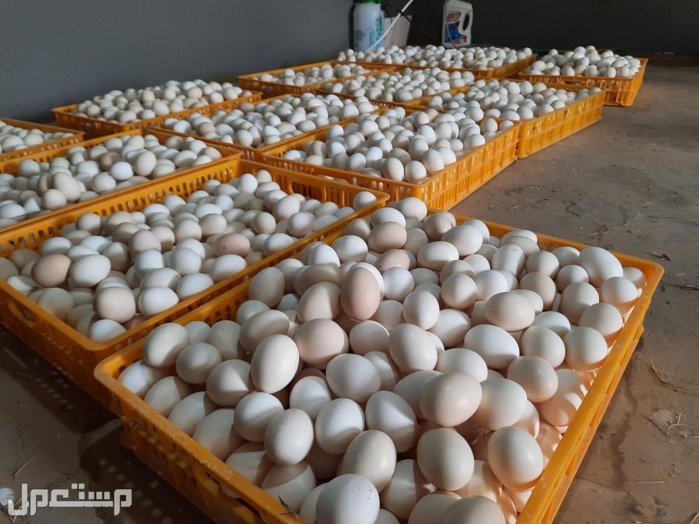دجاج بياض للبيع