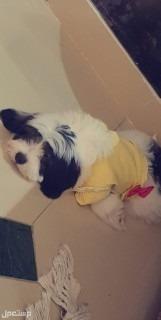 كلب مالتيز سوبر مبني اليف