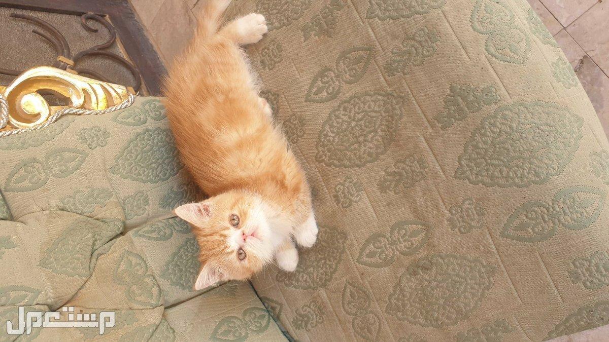 للبيع مجموعة قطط اكزوتيك النادرة