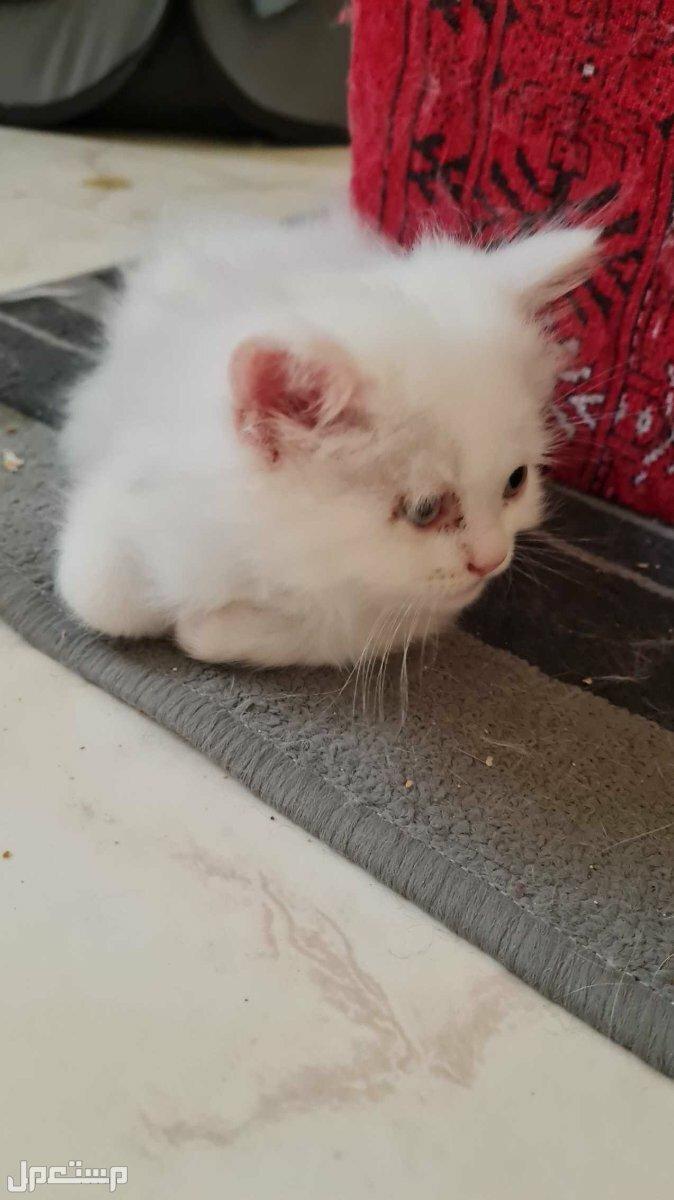 6 قطط persian شيرازي للبيع