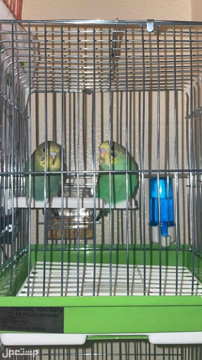 عصافير للحب ( البادجي )