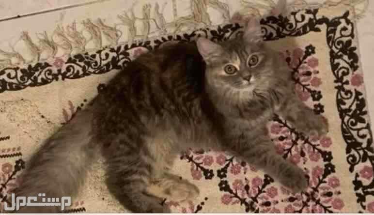 قطه شيرازي اوثى للبيع