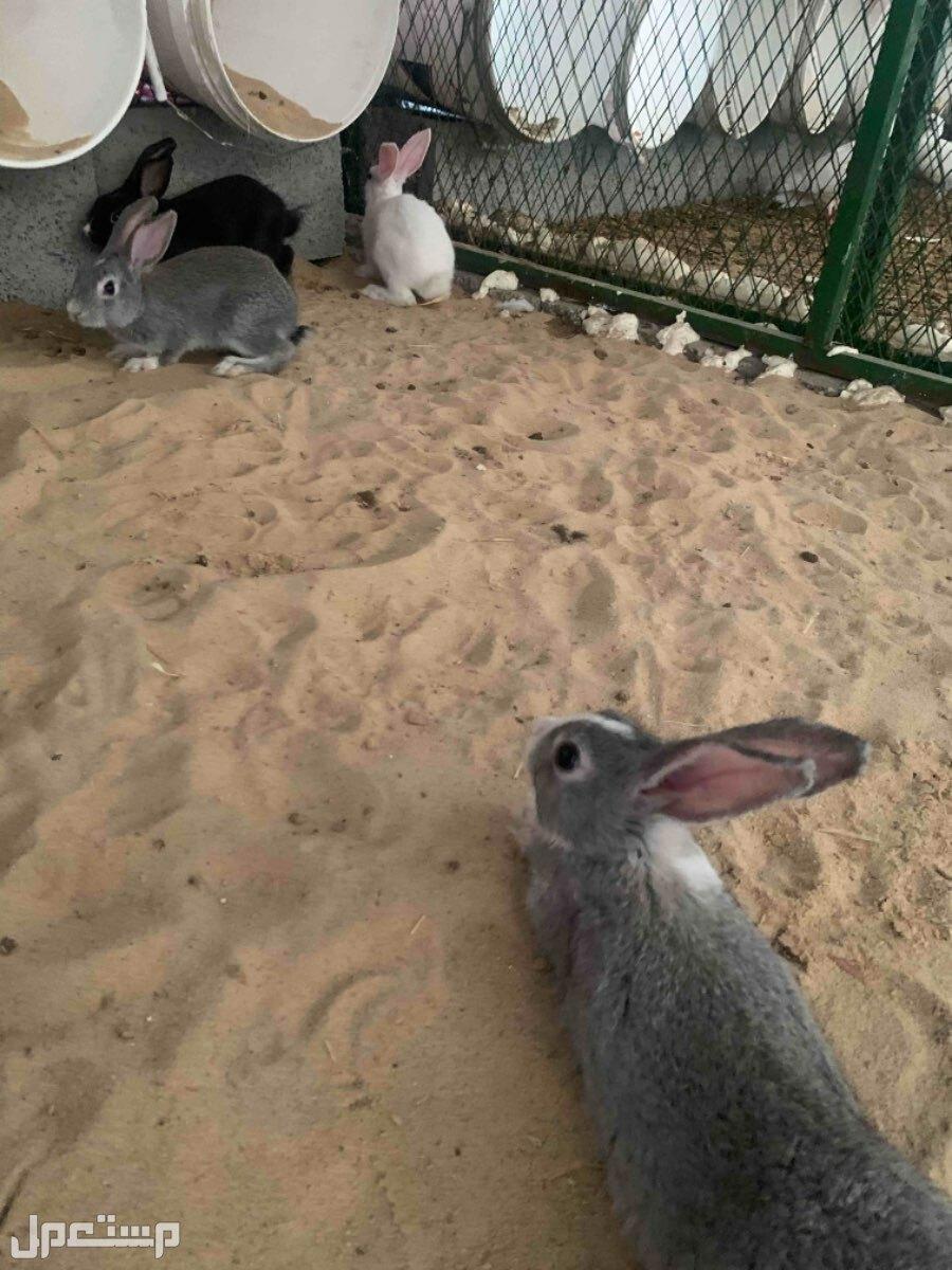 ارانب صغيره للبيع