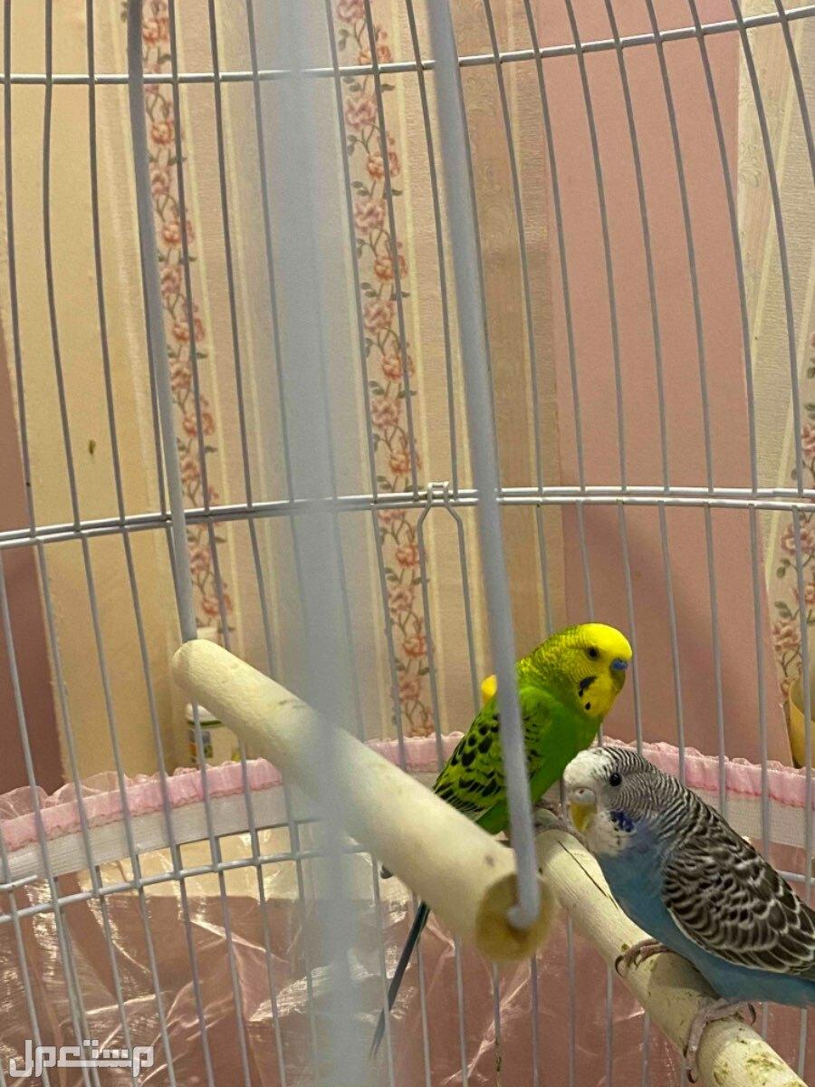 جوز طيور حب