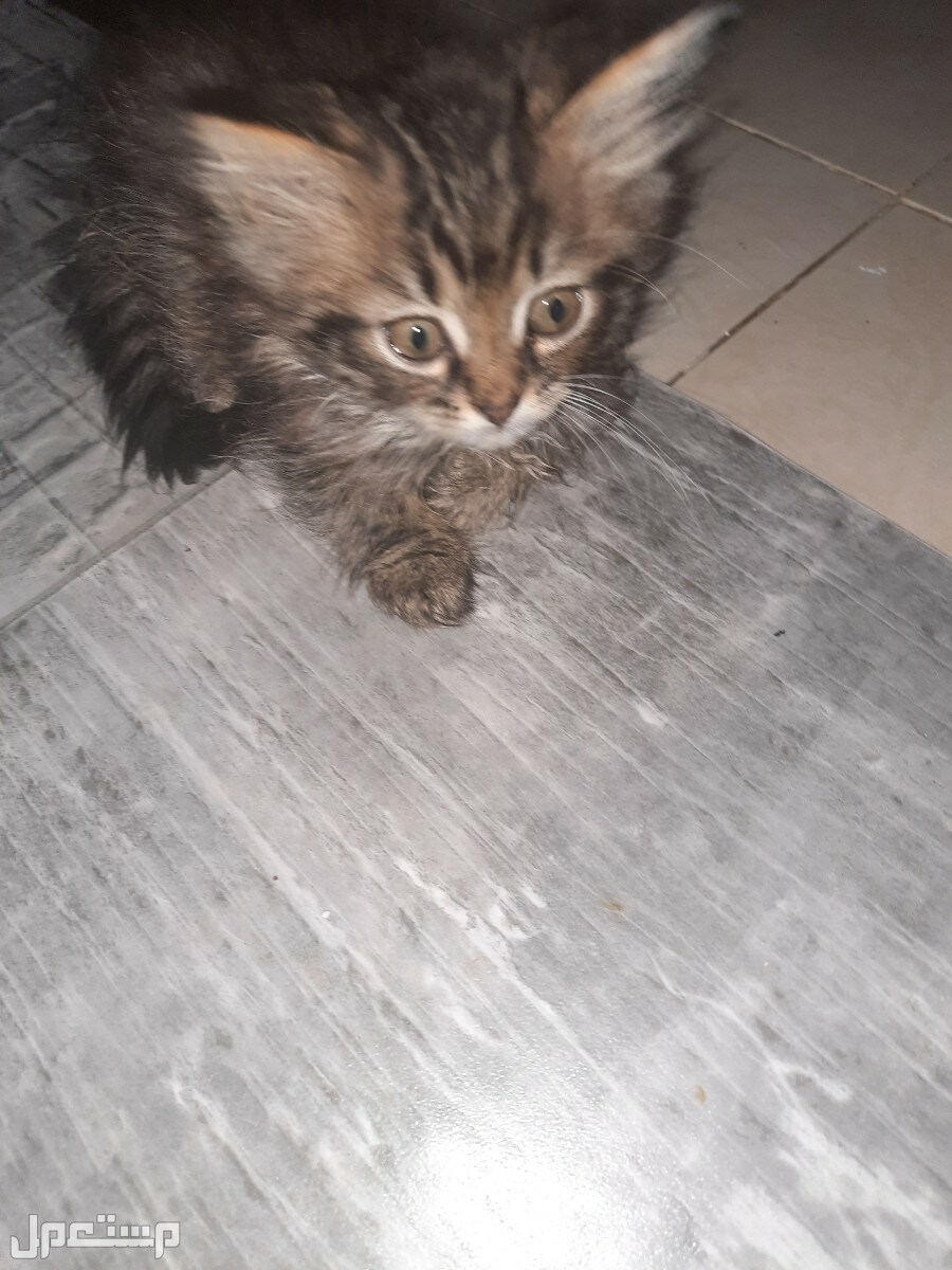 البيع القطط شرازي عمر شهر ونص
