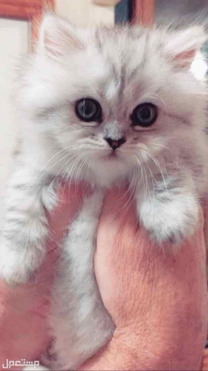 قطط كيتن شيرازي