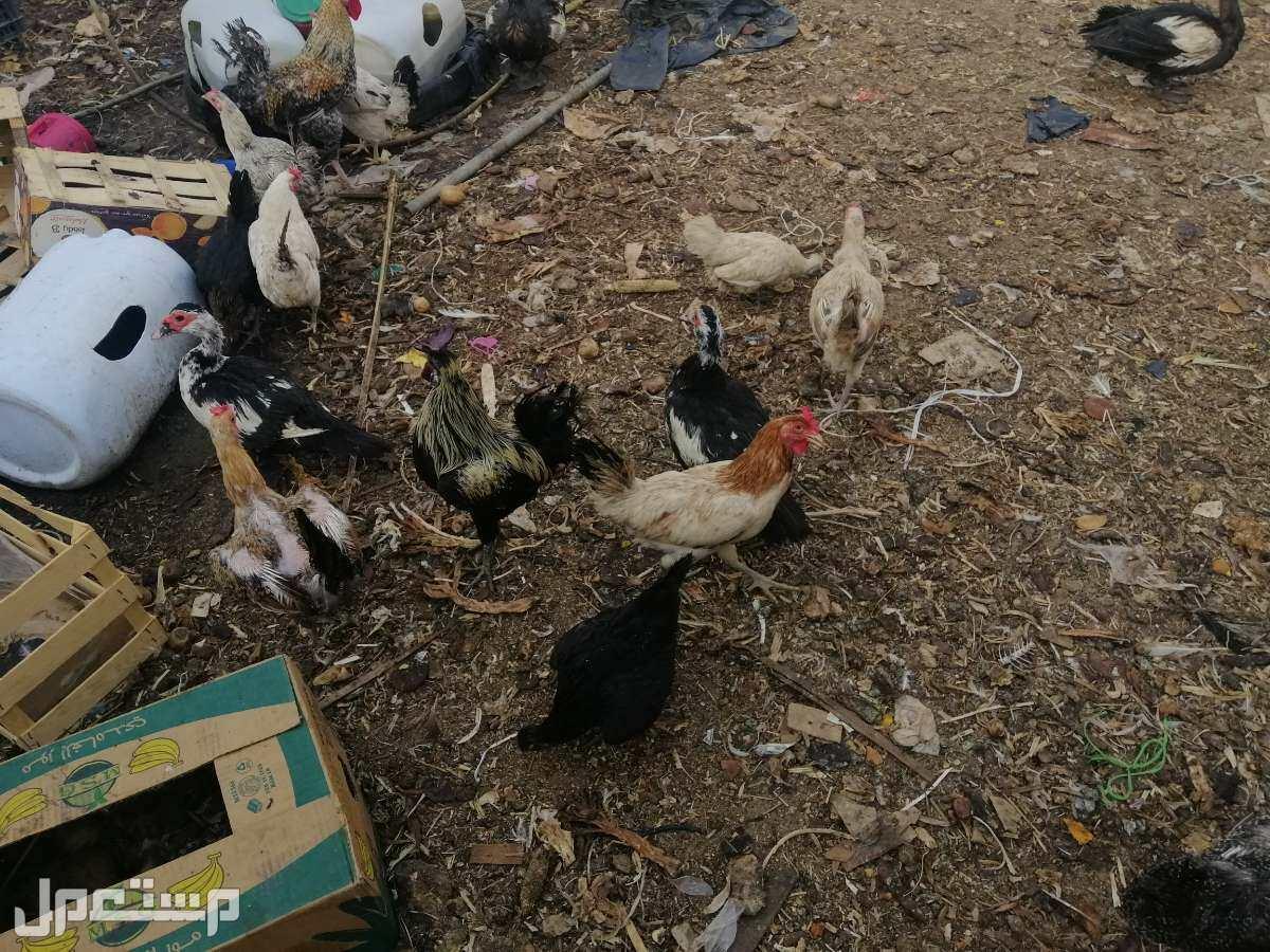 بط مسكوفي و دجاج رومي  ودجاج وحمام لاحم