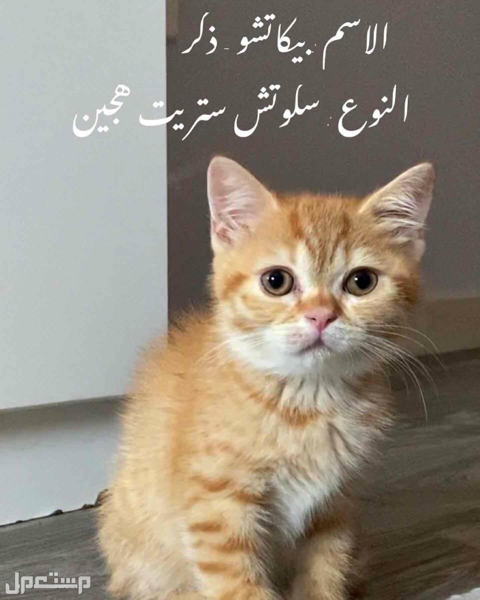 قطط للبيع بيكاتشو