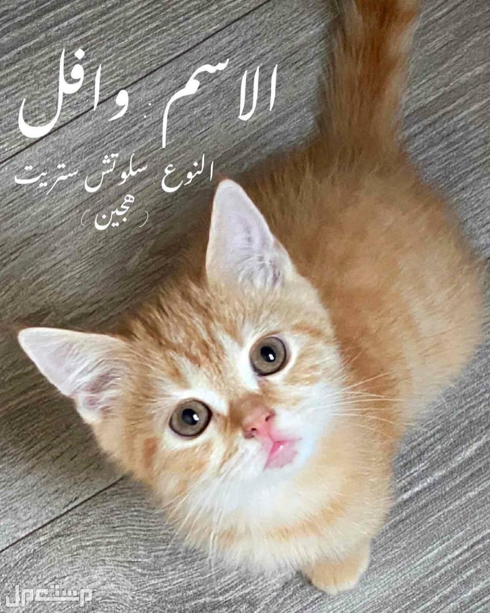 قطط للبيع وافل