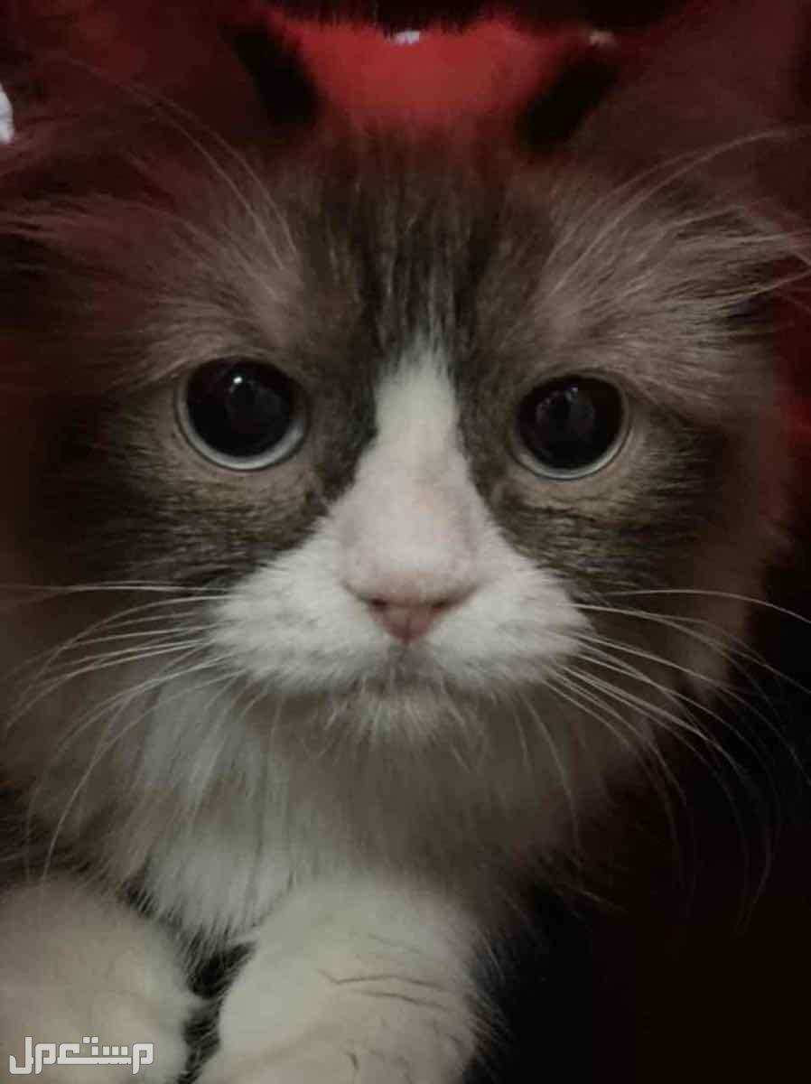 قطه للبيع راغدول 500 ريال