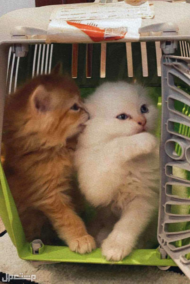قطط شيرازيه ذكور