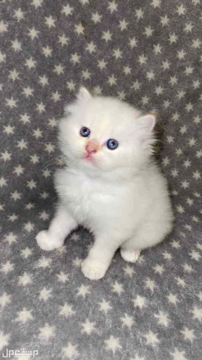 قطط شيرازيه سليمين