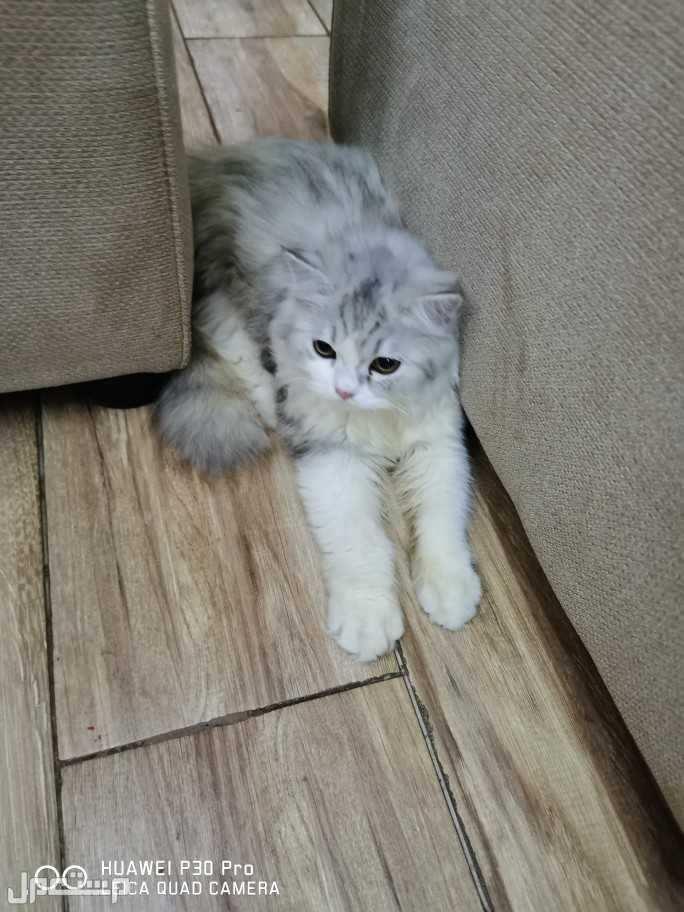 قطةشيرازية