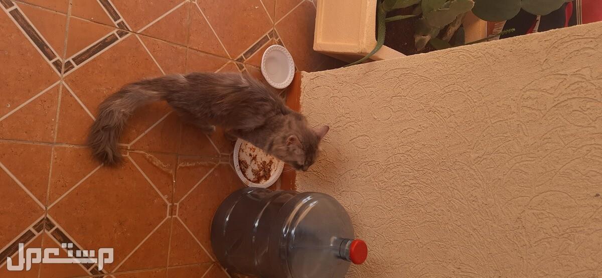 قطة شيرازيه للبيع