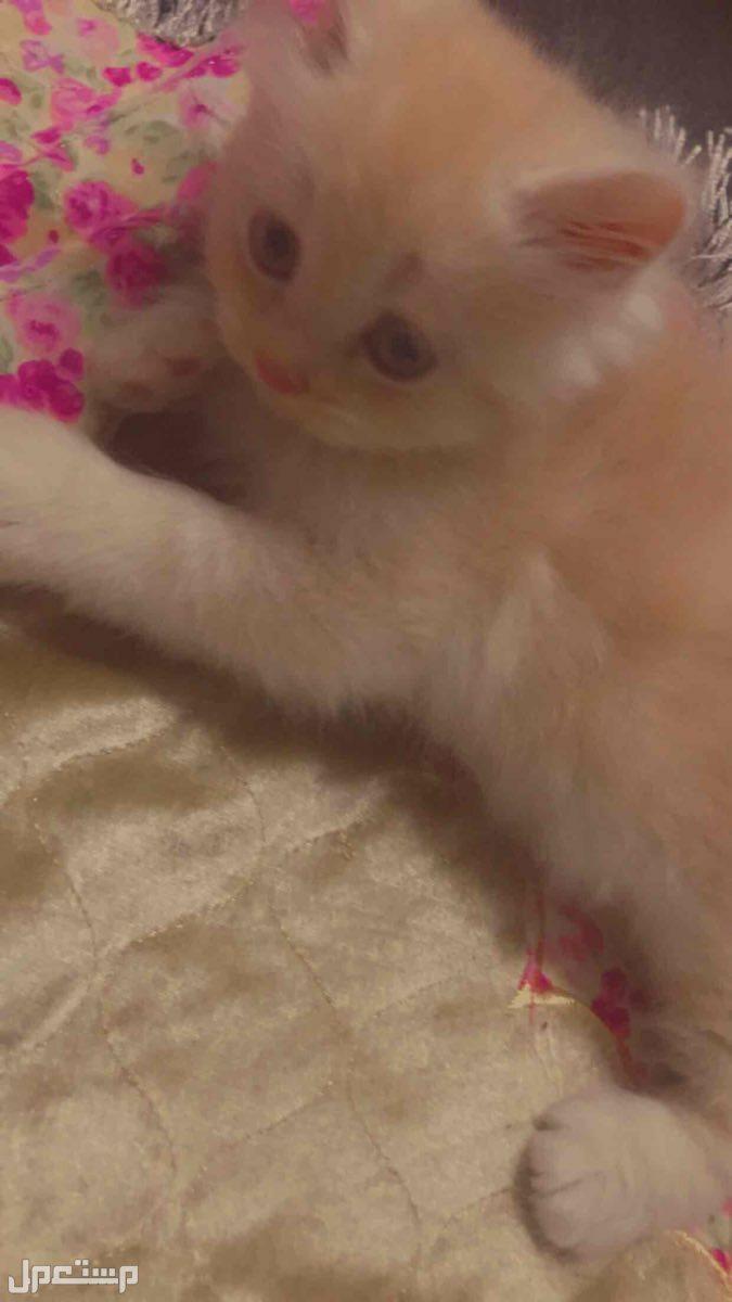 قطط تيكن