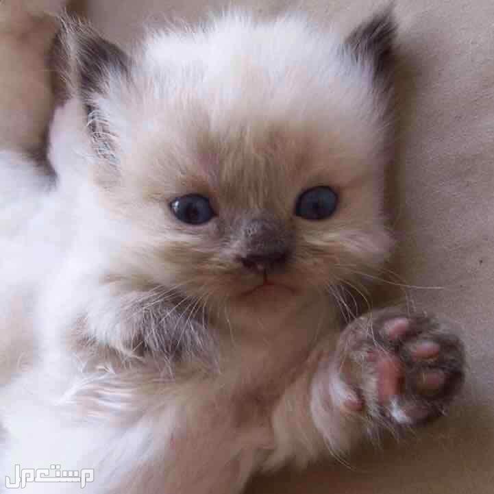 كيتنز قطة هملايا للبيع