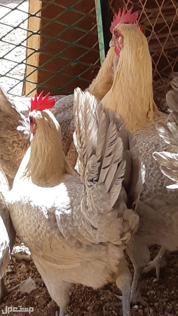 دجاج قولد   بياض