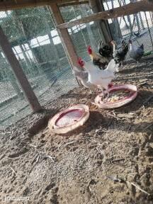 دجاج الامنيوم وشبابي