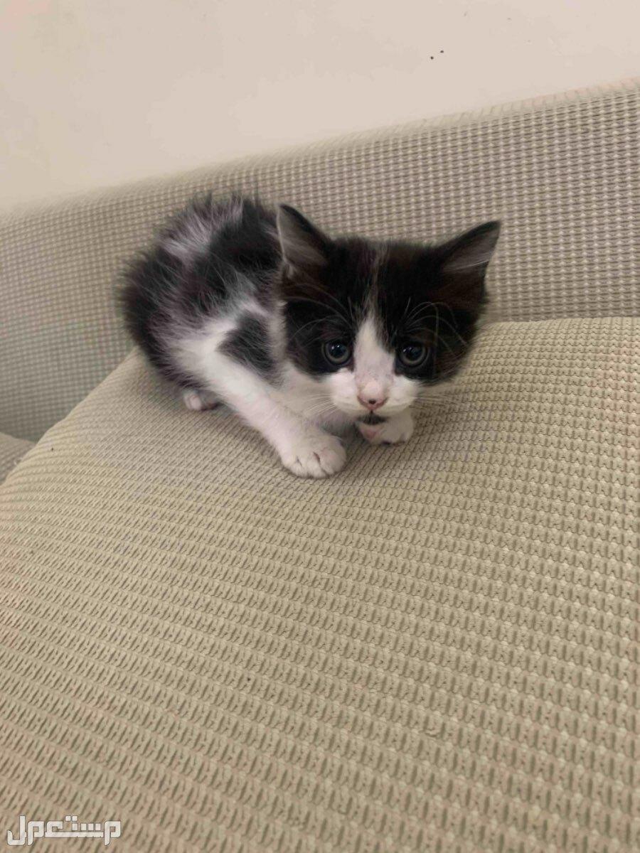 قطط عمر ثلاثة شهور