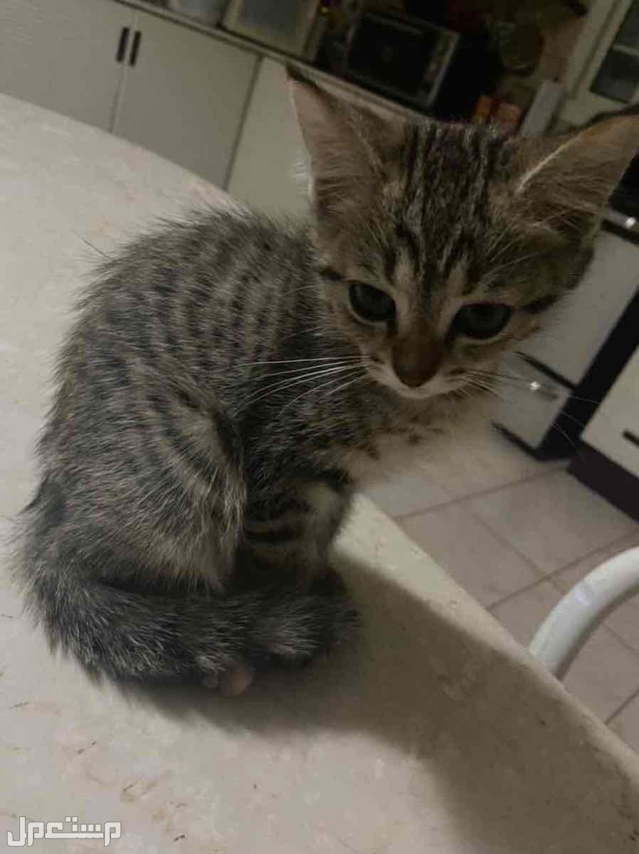قطط منزلية - اليفة جدا ولعوبة - للبيع