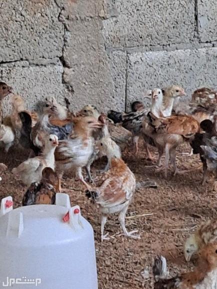 صوص دجاج بلدي الخرج