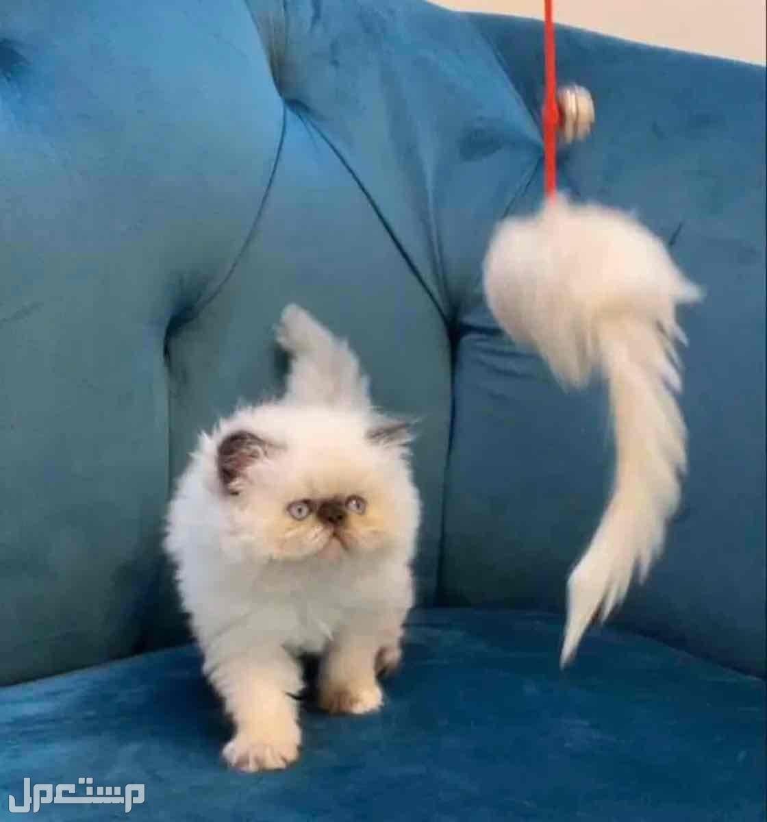 قطط بكي فيس مستويات خورافية