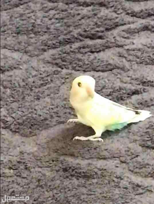 طيور روز اليفه