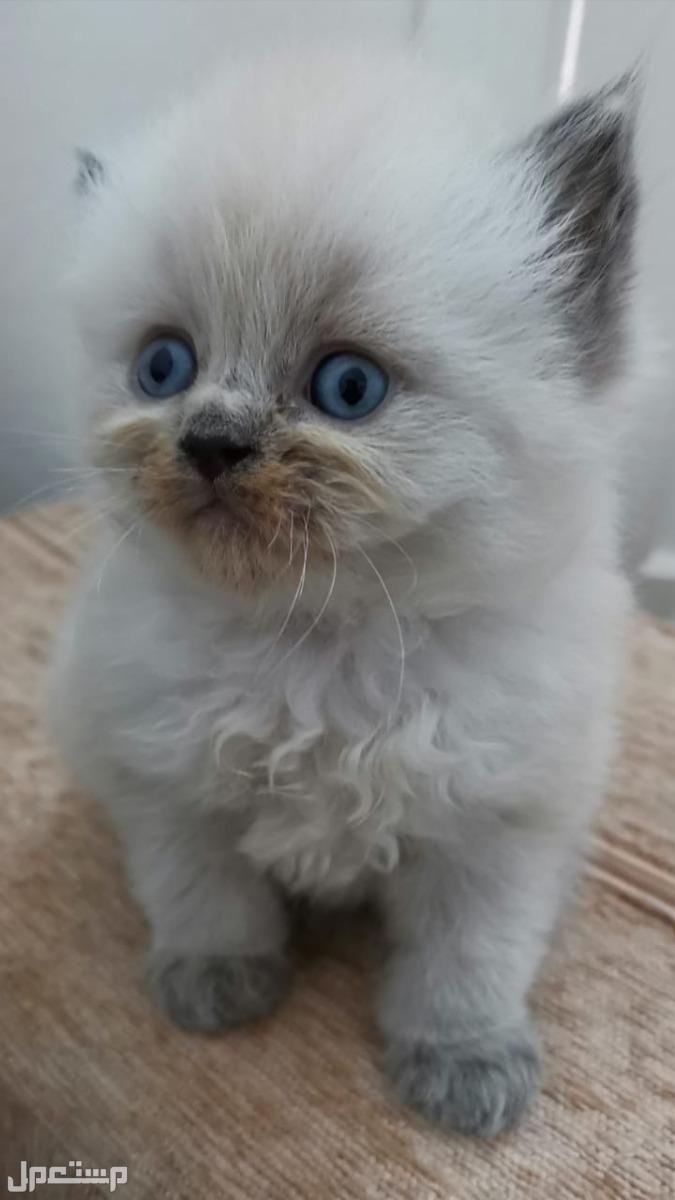 قطط فارسي بيور نقي للبيع