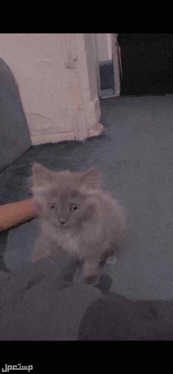قطه شيرازي اليفه لعوبه عمرها شهر ونص