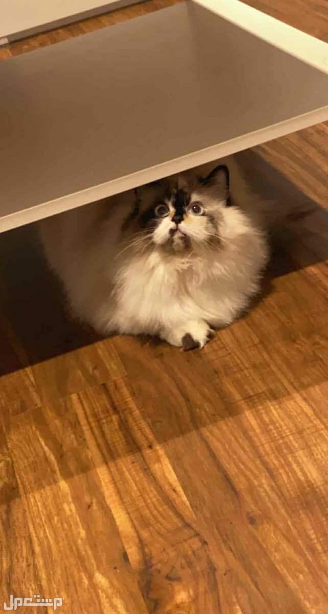 قطة انثى مكس سكوتش و هملايا