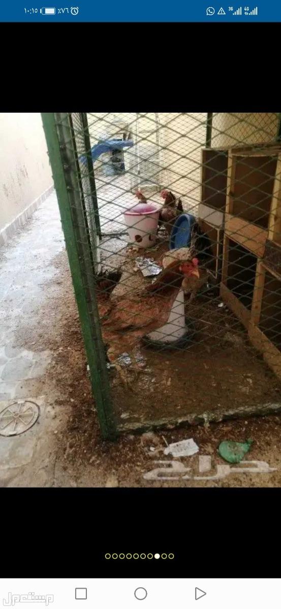 للبيع 5 دجاجة بلدي على سوم
