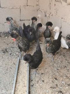 اللي عنده حوش ويبغى دجاج مستويات حلوه ويعين خير