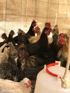 دجاج عربي كويتي قصيروطويل حباحب
